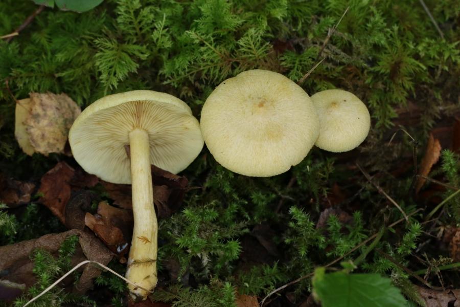 Tricholompsis_sulphureoides_foto Külli Kalamees