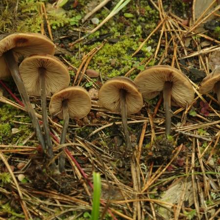 macrocystidia_cucumis_kurgiseen_f_anna_baklan.jpg